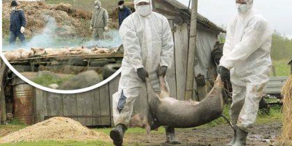 pesta porcina africana