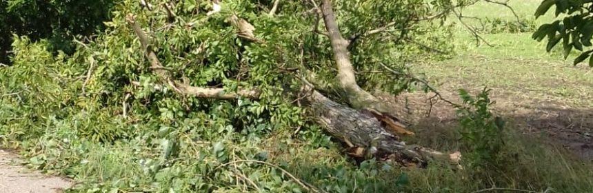 copaci smulsi de tornada (2)