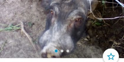 anunț porc mistreț