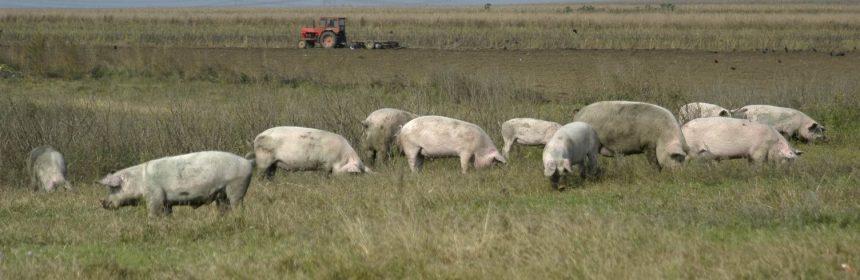 pestă porcină africană