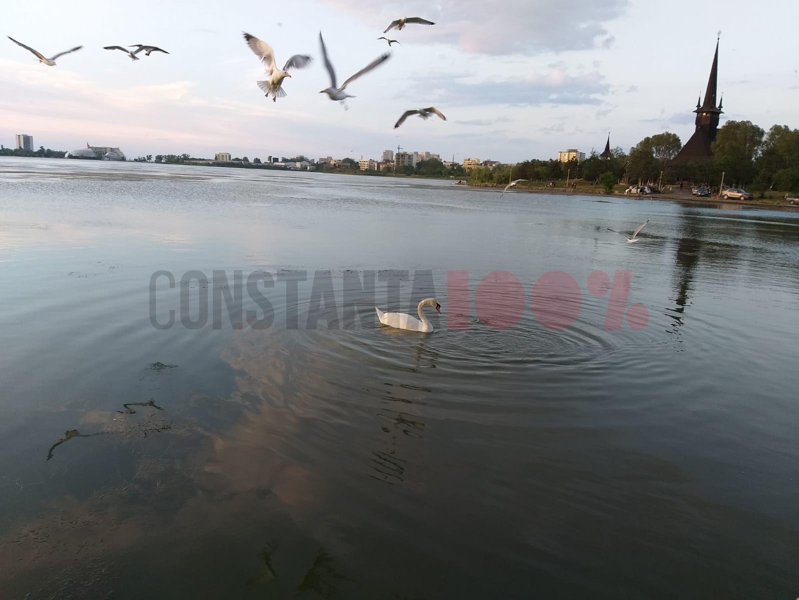 lebede pescarusi lacul tabacarie