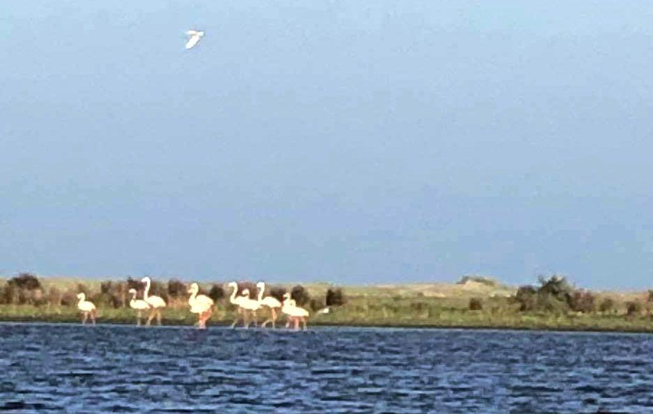 flamingo delta dunarii