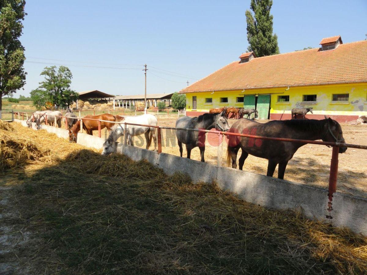 Herghelia din Mangalia. Foto: arhivă Constanța 100%